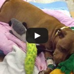 pit bull lilly a salvat stapana fb